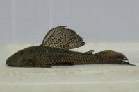 Hypostomus papariae
