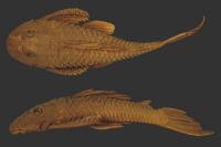 Plecostomus paulinus Holotype BMNH 1905.6.9.4 SL135.0mm