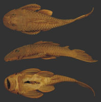 Bild 2: Plecostomus paulinus Holotype BMNH 1905.6.9.4 SL135.0mm