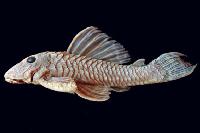 Hypostomus peckoltoides (L 390)