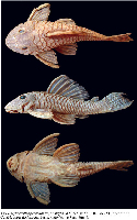 Bild 3: Hypostomus peckoltoides, holotype, MZUSP 105226, 110.7 mm SL, from the rio Cuiabá, upper rio Paraguai basin, Mato Grosso State, Brazil