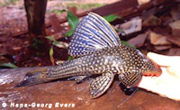 Bild 5: Hypostomus regani