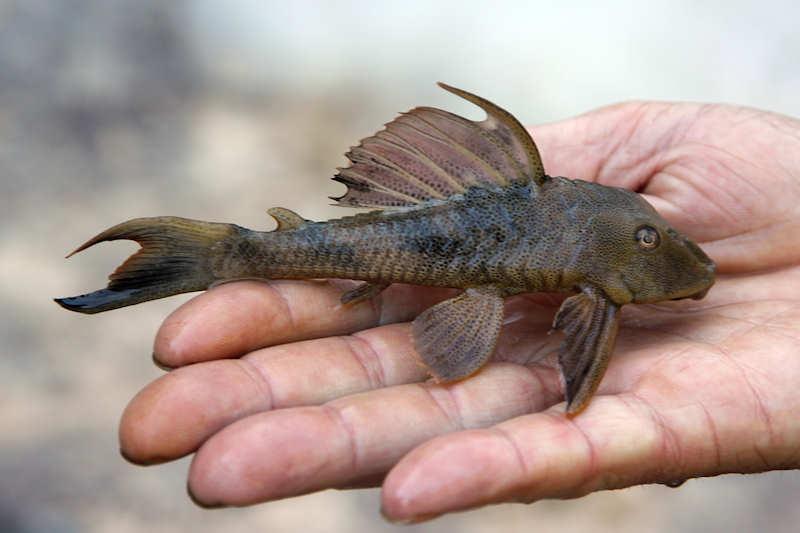 Hypostomus rhantos (L 242) vom río Asita