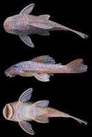 Bild 2: Hypostomus sp. 2, NUP 3030, 116.2 mm SL, Brazil, Paraná state, municipality of Campo Mourão, rio Mourão, tributary of the rio Ivaí
