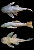 Bild 3: Hypostomus sp. 4, NUP 4745, 149.1 mm SL, Brazil, Paraná state, municipality of Nova Tebas, rio Muquilão, tributary of the rio Ivaí.