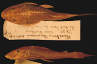 Plecostomus commersonii scabriceps - Type