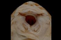Pic. 89: Hypostomus seminudus