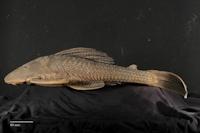 Hypostomus tapijara