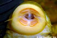 Bild 86: Hypostomus ternetzi (LDA55)