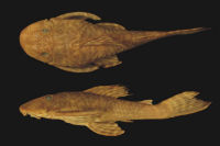 Plecostomus tietensis Holotype BMNH 1905.6.9.1 SL127.9mm