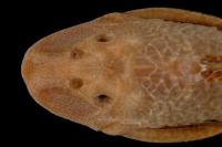 Bild 3: Hypostomus vaillanti, dorsal