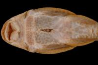 Bild 4: Hypostomus vaillanti, ventral