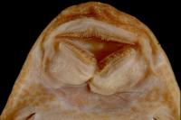 foto 93: Hypostomus vaillanti