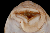 Pic. 94: Hypostomus vermicularis