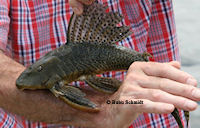 Hypostomus watwata, Fangort: Regina, Riviere L`Appruague
