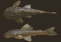 Hypostomus yaku, holotype, DZSJRP 15735, 70.8 mm SL, rio Quente, rio Paranaíba drainage, upper rio Paraná basin, Rio Quente, Goiás State, Brazil.