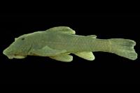 Isbrueckerichthys