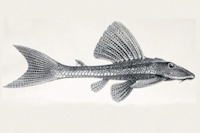Isorineloricaria tenuicauda - Lateralansicht