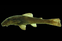 Kronichthys lacerta, NUP 18302, 51.5 mm