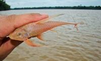 Bild 6: Lamontichthys filamentosus