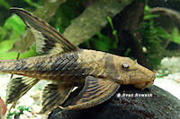"Lamontichthys sp. ""Kolumbien"""