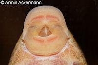 """Bild 88: Lamontichthys sp. """"Kolumbien"""""""