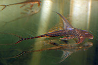 Bild 3: Lamontichthys llanero