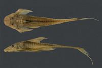 Lamontichthys parakana, INPA 3010, 112,7 mm SL, Holotype