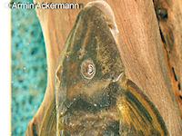 Bild 2: Lamontichthys stibaros