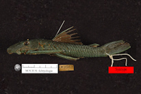 Lasiancistrus guacharote