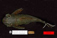 Bild 2: Lasiancistrus guacharote