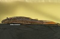 Pic. 28: Lasiancistrus heteracanthus