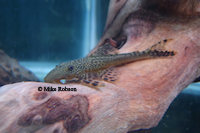 Bild 6: Lasiancistrus tentaculatus (L92)