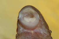 foto 90: Lasiancistrus tentaculatus (L 194)