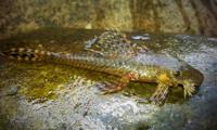 Bild 9: Lasiancistrus tentaculatus - Río Orotoy