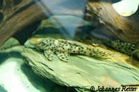 Bild 2: Leporacanthicus heterodon