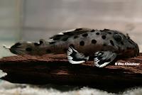 Bild 8: Leporacanthicus joselimai (L264)