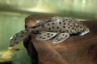 Bild 6: Leporacanthicus joselimai (L264)
