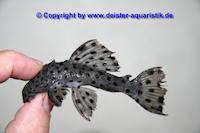 Bild 3: Leporacanthicus joselimai (L264)