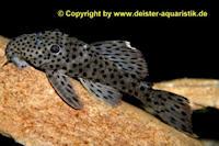 Bild 4: Leporacanthicus joselimai (L264)
