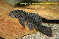 Bild 5: Leporacanthicus joselimai (L264)