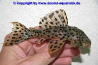 """Bild 2: Leporacanthicus sp. """"L314"""" / """"LDA 56"""""""