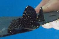 """Bild 6: Leporacanthicus sp. """"L473"""""""