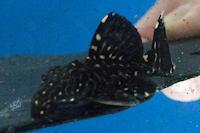 """Bild 5: Leporacanthicus sp. """"L473"""""""