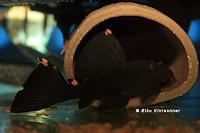 Bild 3: Leporacanthicus triactis (L91)