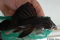 Bild 6: Leporacanthicus triactis (L91)