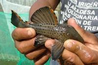 Bild 9: Leporacanthicus triactis - Río Ventuari
