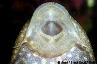 Bild 2: Liposarcus anisitsi/Pterygoplichthys ambrosettii