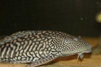 Liposarcus anisitsi/Pterygoplichthys ambrosettii