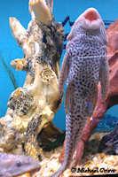 Bild 3: Liposarcus disjunctivus/Pterygoplichthys disjunctivus